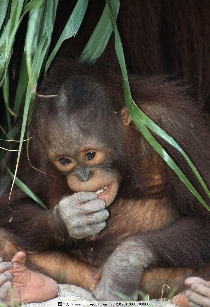猩猩 小猩猩 可爱 非洲 高清 摄影 动物 野生 灵长类 野生动物