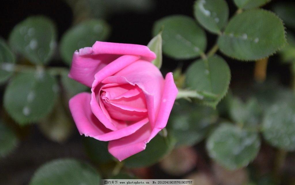 玫瑰花 花卉 玫瑰 徘徊花 花单生 或聚生 一朵 粉红色 花卉系列 花草