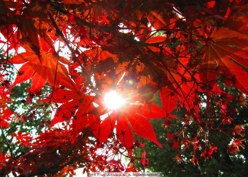 红叶 摄影 太湖 风光 阳光 枫叶 红色 唯美 树木树叶 生物世界 180dpi图片