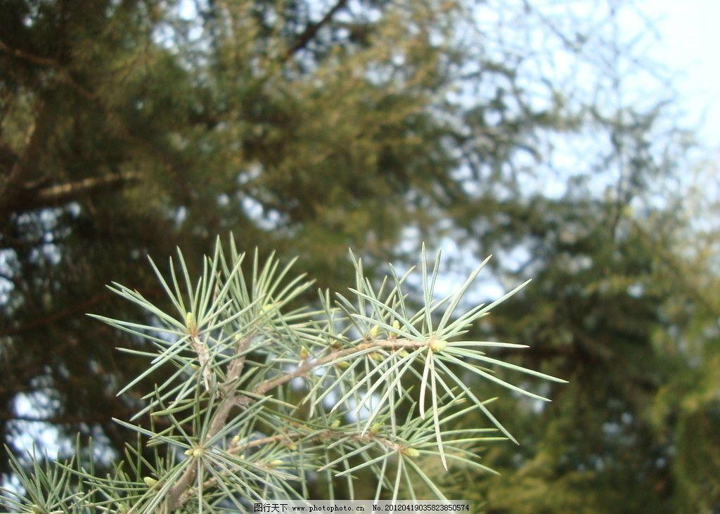 针松 针叶松 树木树叶 生物世界 摄影 72dpi jpg