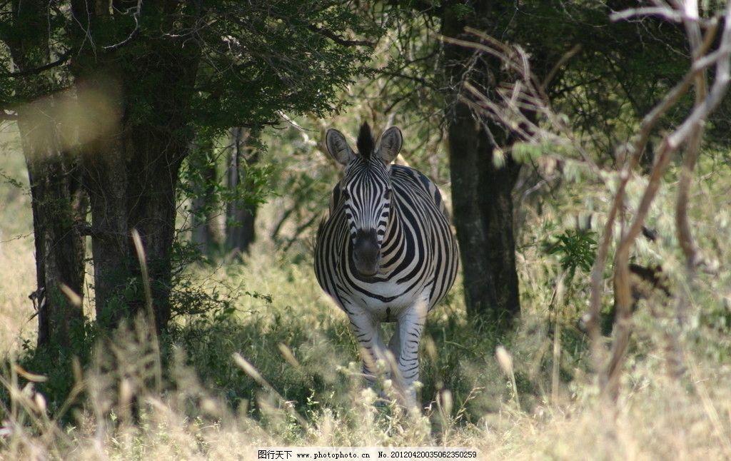 野生斑马 斑马 特写 野生 动物 草原 丛林 树林 森林 大树 树木 野生