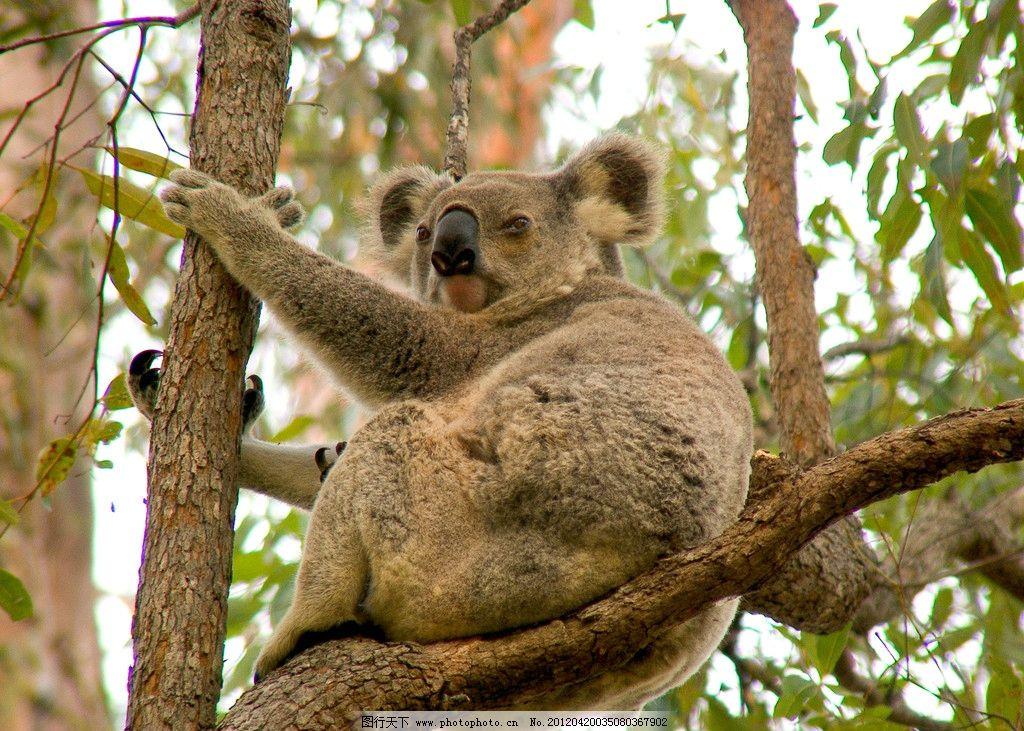 考拉 浣熊 树熊 野生 珍贵 保护 动物 野生动物 生物世界 摄影