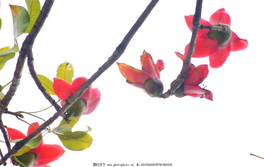 绿色植物 绿叶 红花配绿叶 树木 红花 公园 风景区 园林 木棉花 木棉