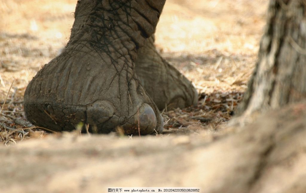 大象 象腿 特写 野生 珍贵 珍惜 保护 动物 非洲 草原 丛林