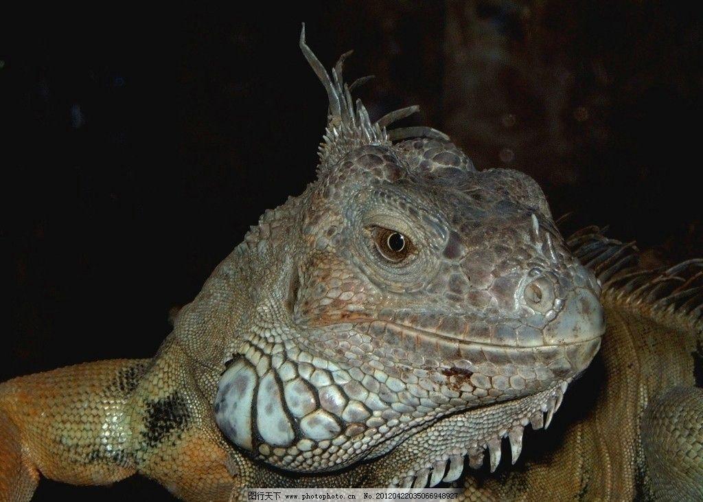 蜥蜴变色龙 蜥蜴 变色龙 野生 珍贵 保护 动物 热带 丛林 亚马逊 野生