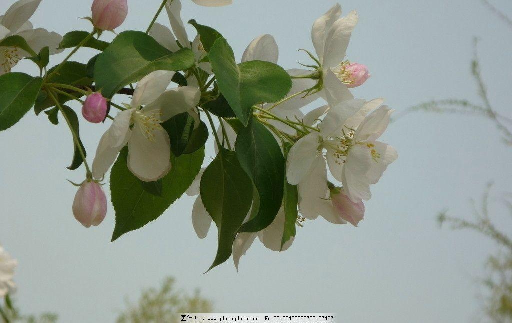春暖花开 海棠花 春天 自然景色 怒放 花朵 含苞待放 花草 生物世界