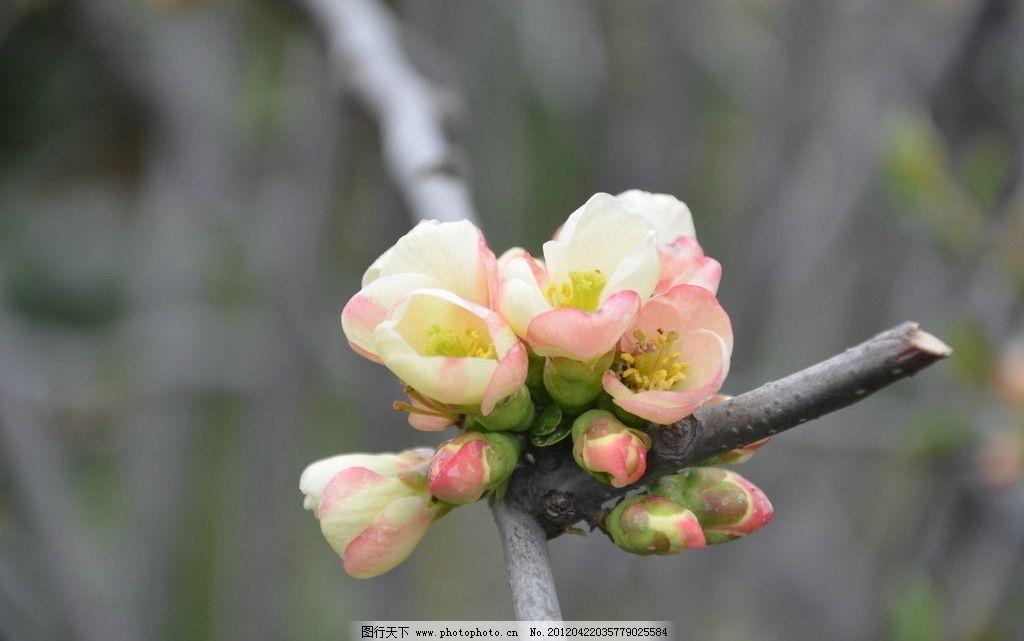 贴梗海棠 花卉 皱皮木瓜