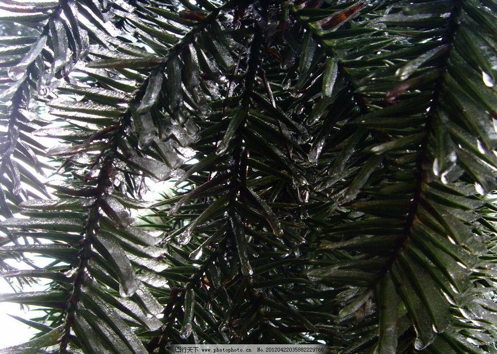 庐山风景 摄影 庐山 风景 旅游 冰树 杉树 叶子 树木树叶 生物世界 96