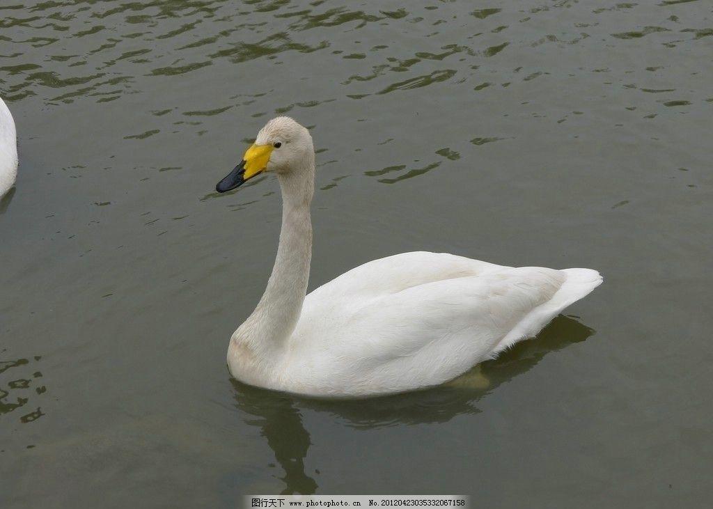 天鹅 摄影艺术 水里游 鸟类 生物世界 摄影 动物园 180dpi jpg