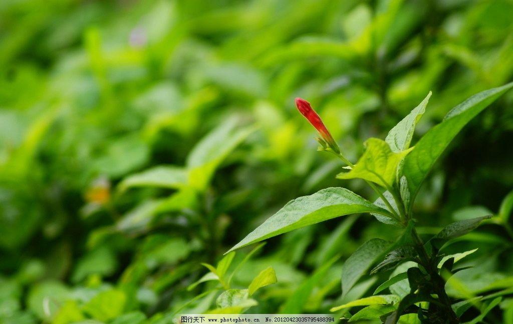植物 木棉花 花卉 农作物 靓花 红色花 黄色花 绿色植物 花草 生物