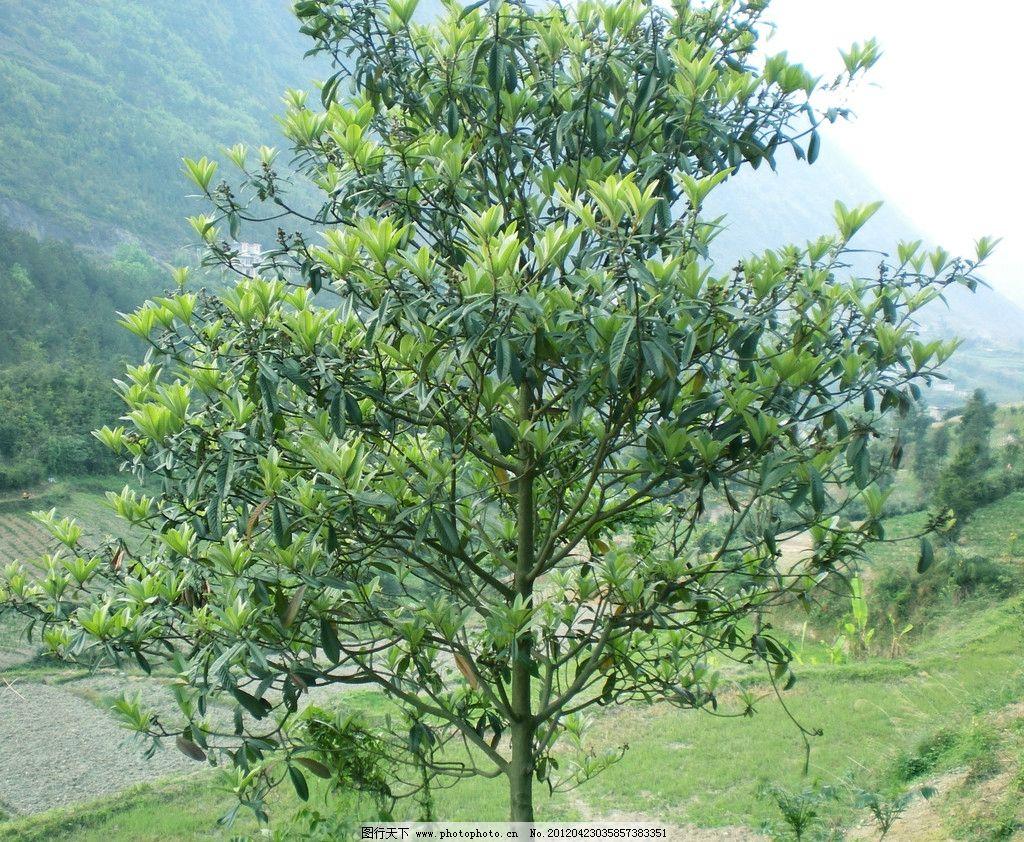 枇杷树 绿色枇杷 枇杷叶 山间 野生枇杷 树木树叶 生物世界 摄影 72