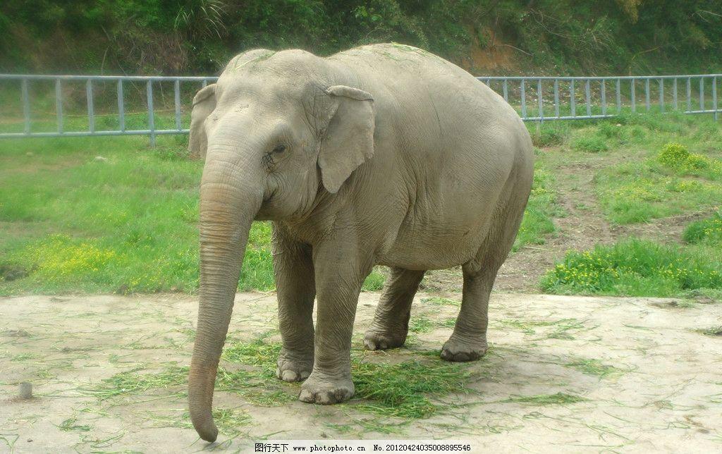 大象 吃草 野生动物 生物世界 摄影 300dpi jpg