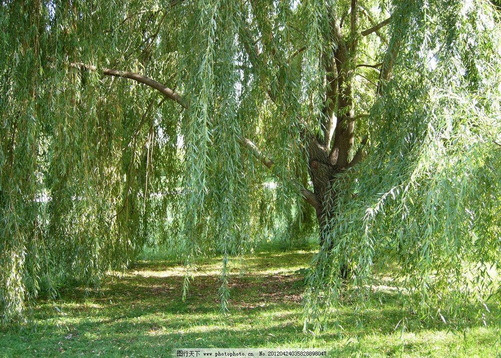 河边垂柳 柳树 春天 树木 绿色 树枝 河边 发芽 垂柳 湖 湖面 河流