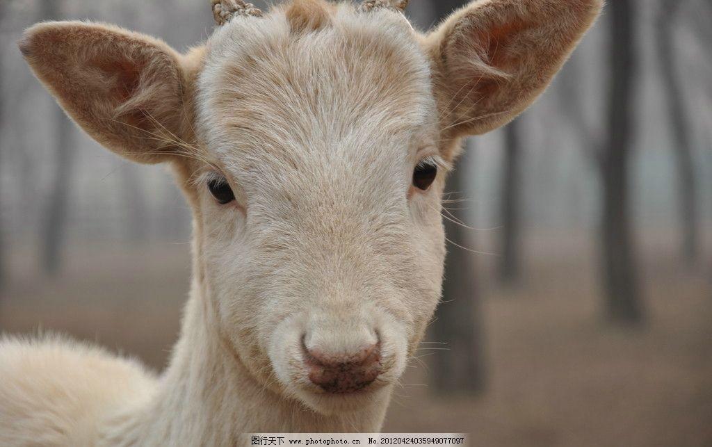 羚羊 动物 羊头 家禽家畜