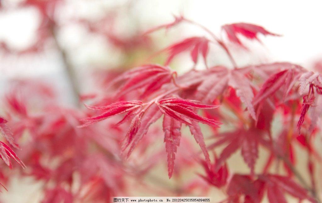 春天红叶树图片图片