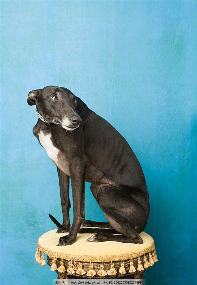 小灵狗 凳子 宠物 动物 害怕 黑色 家犬 惊恐 可爱 恐惧 蓝色背景 蜷缩 家禽家畜 生物世界 摄影 300DPI JPG