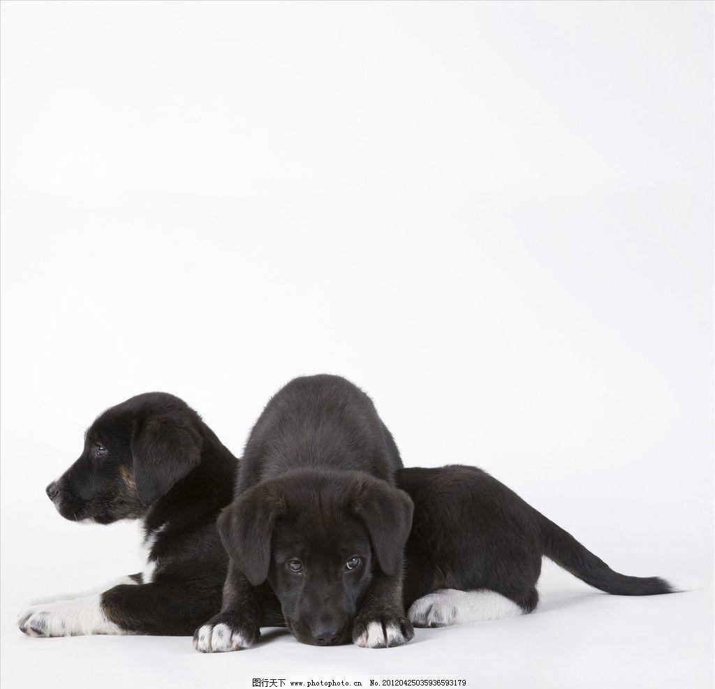 小狗躺着 黑色 家犬 可爱 动物 犬科 玩闹 玩耍 享受 家禽家畜 生物