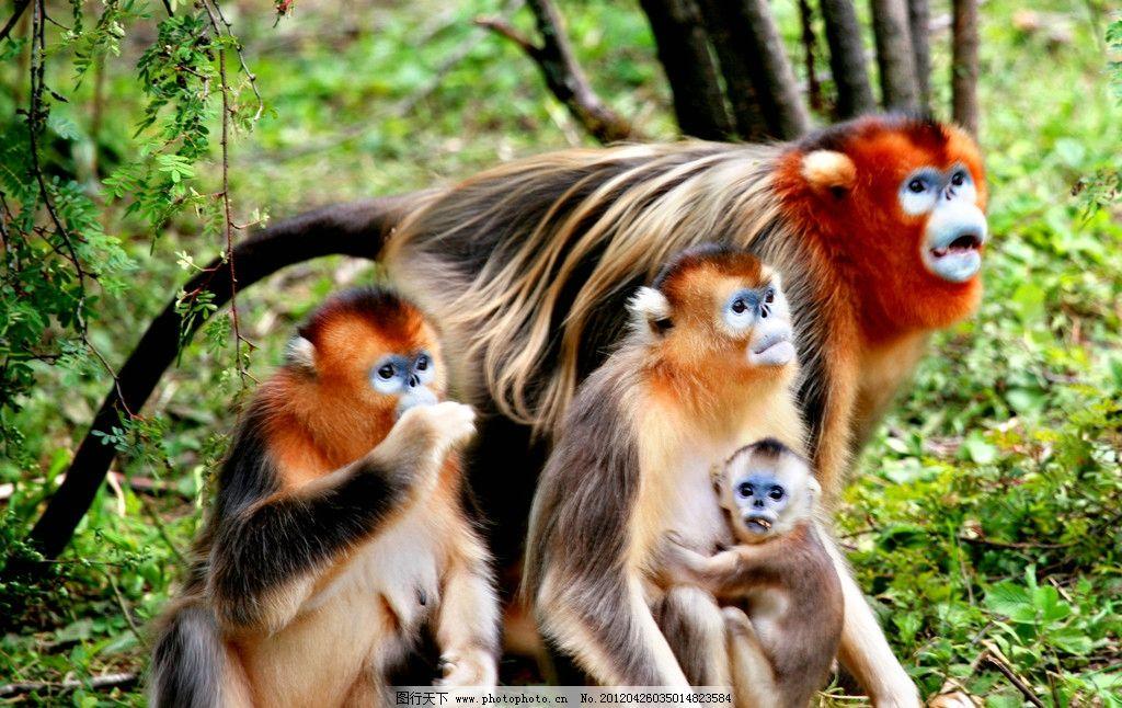 大龙潭金丝猴 猴子 自燃 动物 野生动物 生物世界 摄影