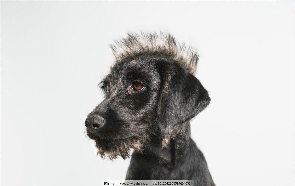 宠物 动物 发式 发型 风格 搞笑 狗 黑色 可爱 可笑 宠物狗