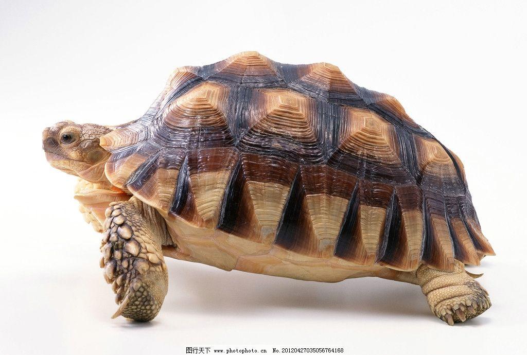 乌龟 龟 爬行动物 龟壳 龟头 野生动物 生物世界 摄影 72dpi jpg
