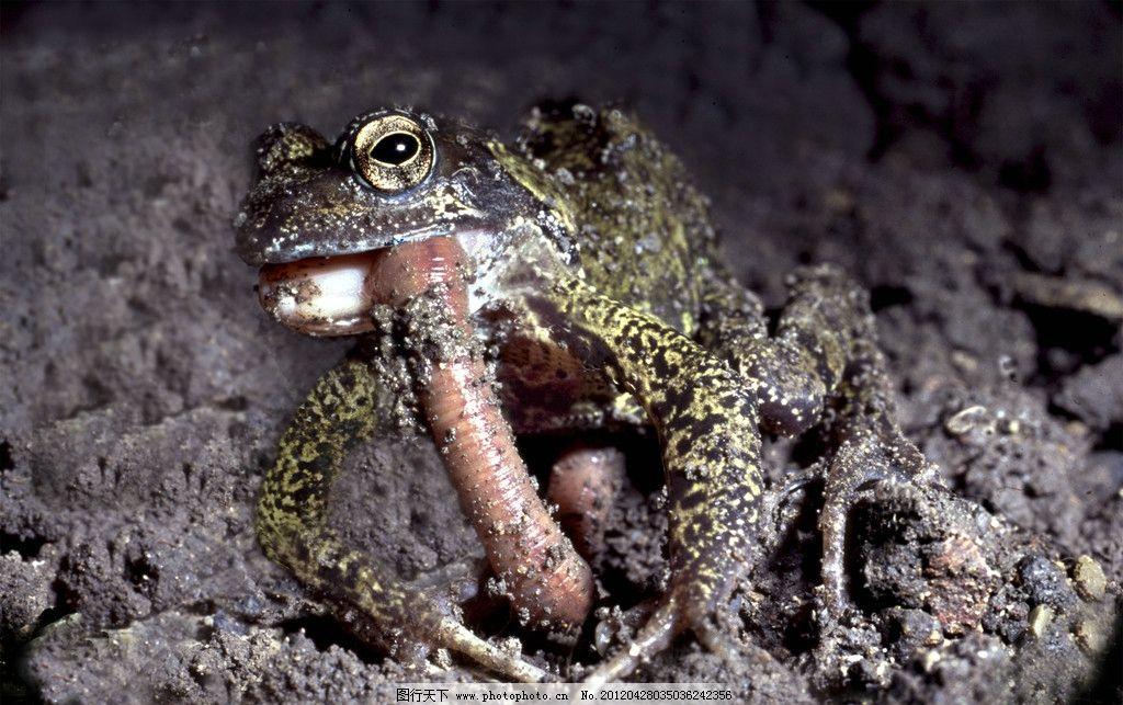 青蛙 吃虫子 捕食 两栖动物 野生动物 生物世界 摄影 200dpi jpg