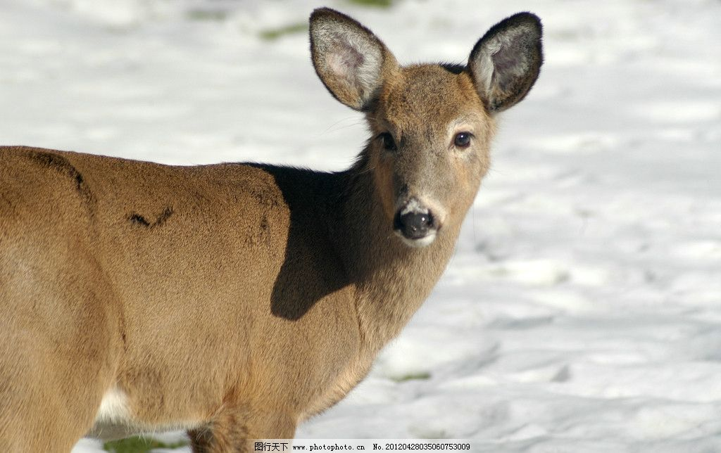 小鹿特写 野生 自然 保护 动物 母鹿 下雪 冬季 冬天 冰雪