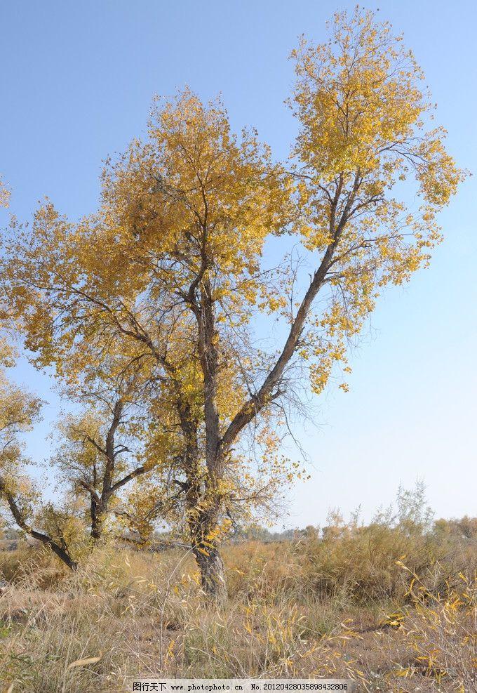 新疆胡杨林 美丽 胡杨林 树木树叶 生物世界 摄影 300dpi jpg