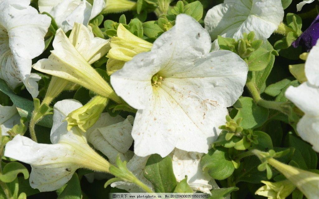 矮牵牛 花卉 碧冬茄 番薯花 花单生 花冠漏斗状 单瓣 一朵 白色 花卉