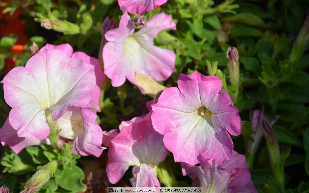 矮牵牛 花卉 碧冬茄 番薯花 花单生 花冠漏斗状 单瓣 数朵 粉红 花卉