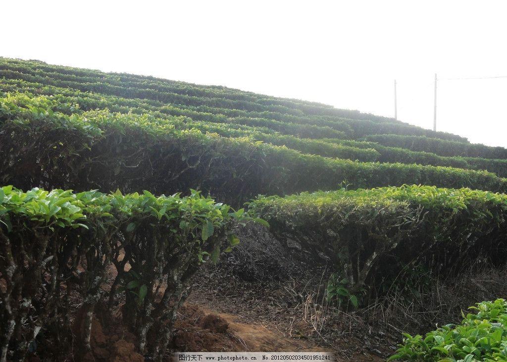 云南普洱茶园 梯田 茶树 绿叶 早晨 田园风光 自然景观 摄影 72dpi