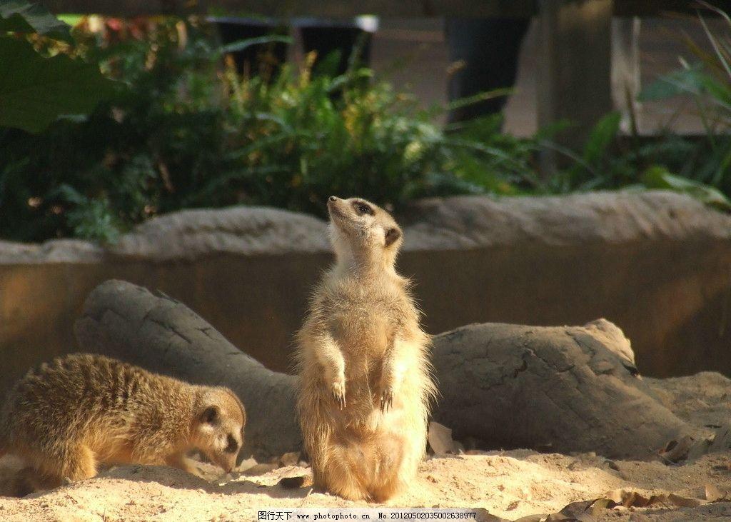 獴哥 小动物 野生动物 生物世界 摄影 72dpi jpg