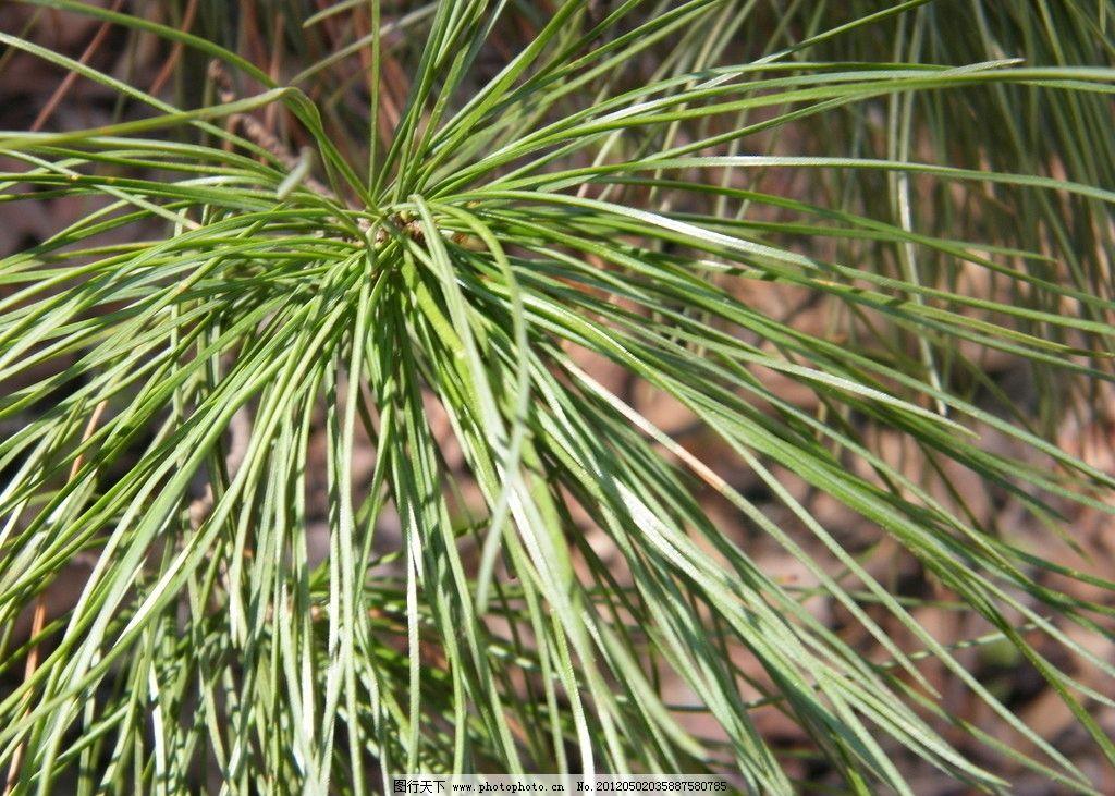松树针 树 发芽 叶子 春天 树木树叶 生物世界 摄影 72dpi jpg