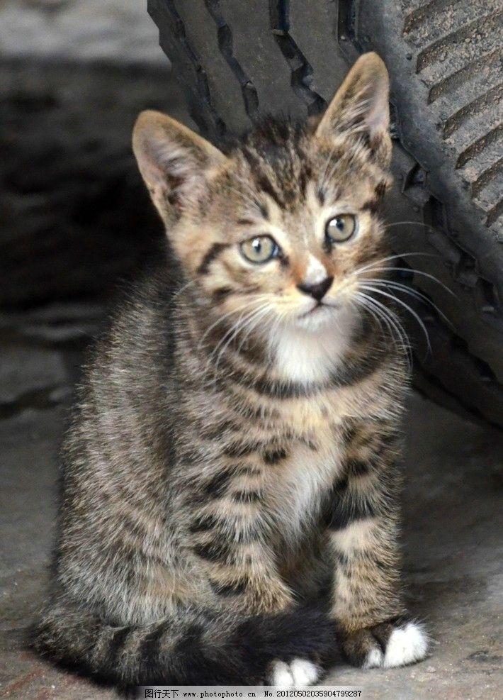 小猫 花猫 眼睛 耳朵 可爱的小猫 家禽家畜 生物世界 摄影 624dpi jpg