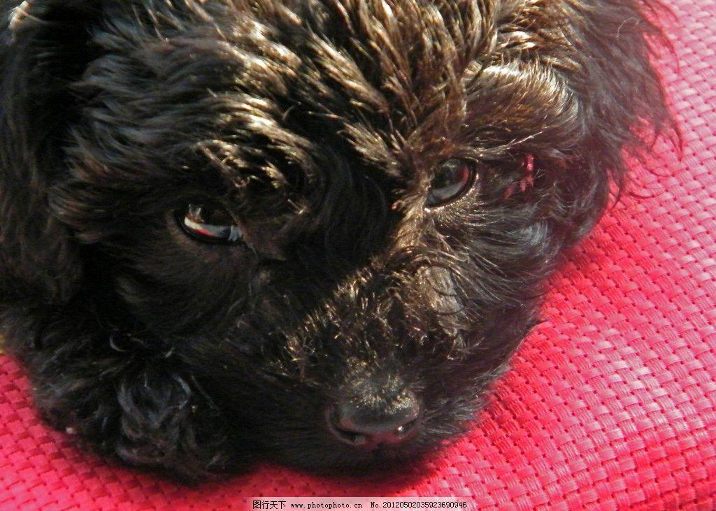 泰迪熊 贵宾犬 宠物 狗 休息 可爱 黑色 晒太阳 家禽家畜 生物世界 摄