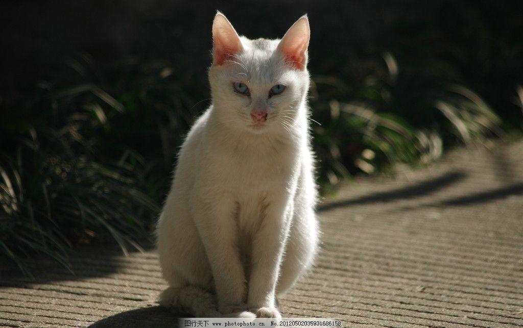 白猫 喵喵 可爱 白色 小白猫 好猫 老鼠 抓老鼠 家禽家畜 生物世界 摄
