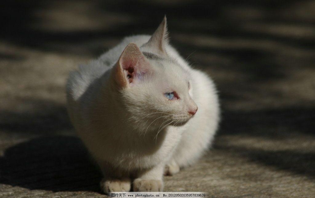 白猫 猫 喵喵 可爱 白色 小白猫 好猫 老鼠 抓老鼠 家禽家畜 生物世界