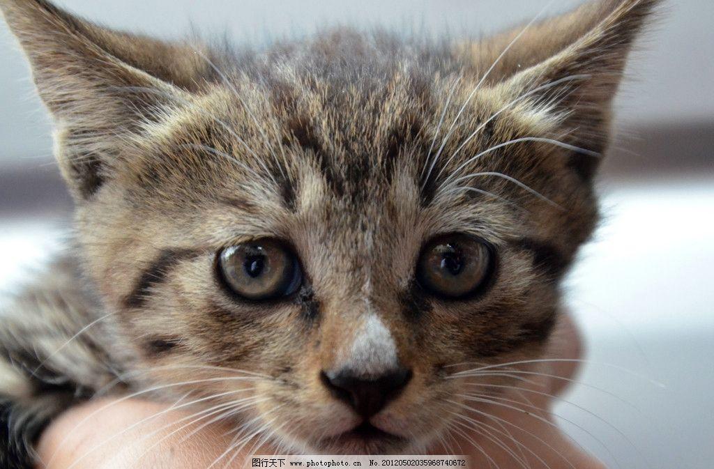小猫 花猫 眼睛 耳朵 可爱的小猫 家禽家畜 生物世界 摄影 842dpi jpg