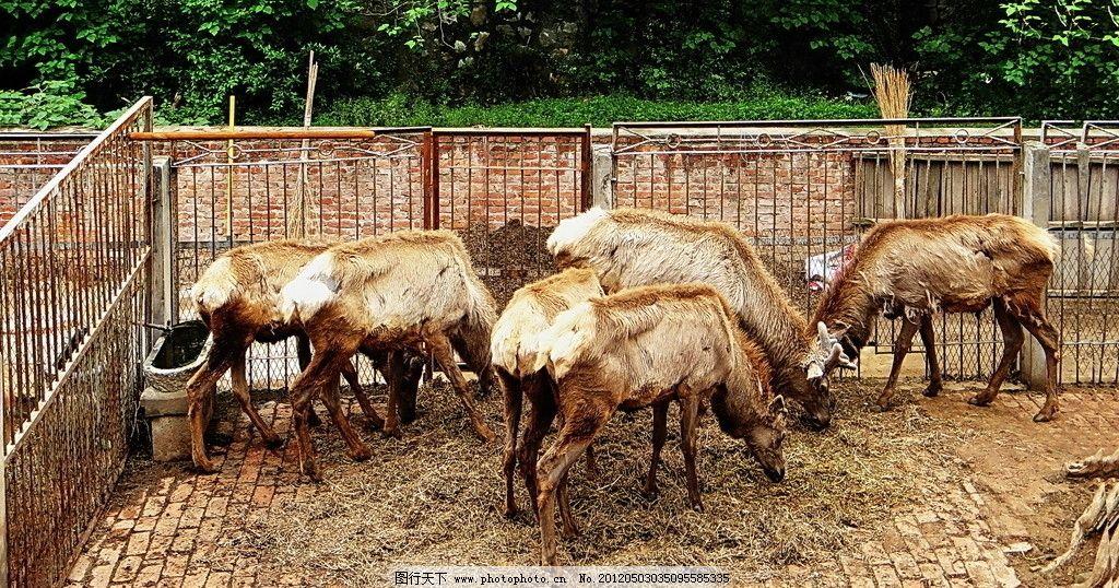 角鹿 鹿群 围墙 野生动物 生物世界 摄影 72dpi jpg