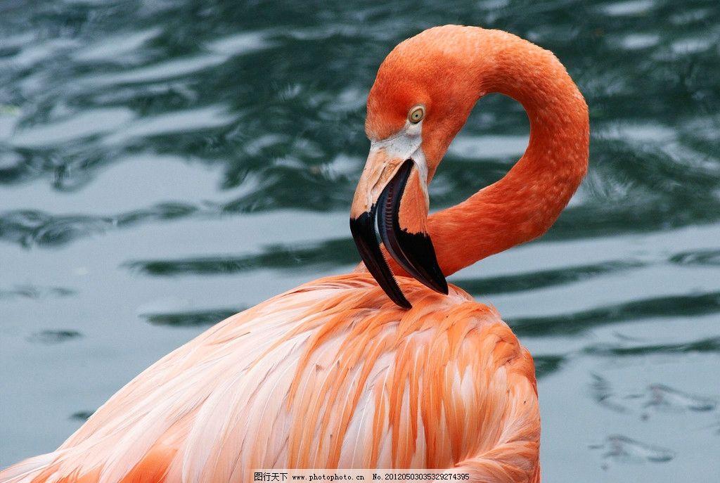 非洲火烈鸟 珍贵 自然 保护 动物 湖泊 河流 鸟类摄影 鸟类