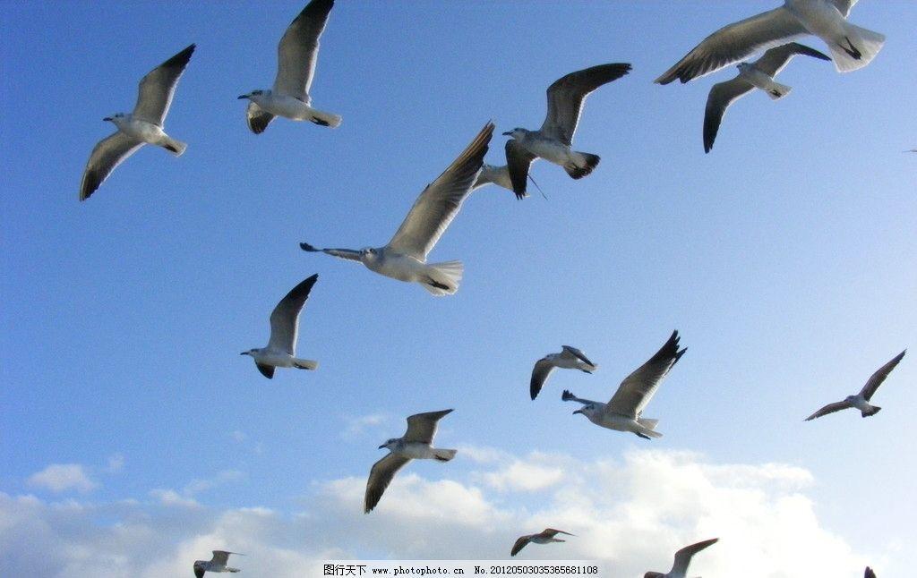 海鸥 飞翔 海鸥飞翔 一群海鸥 蓝天 白云 天空 鸟类 生物世界 摄影 72