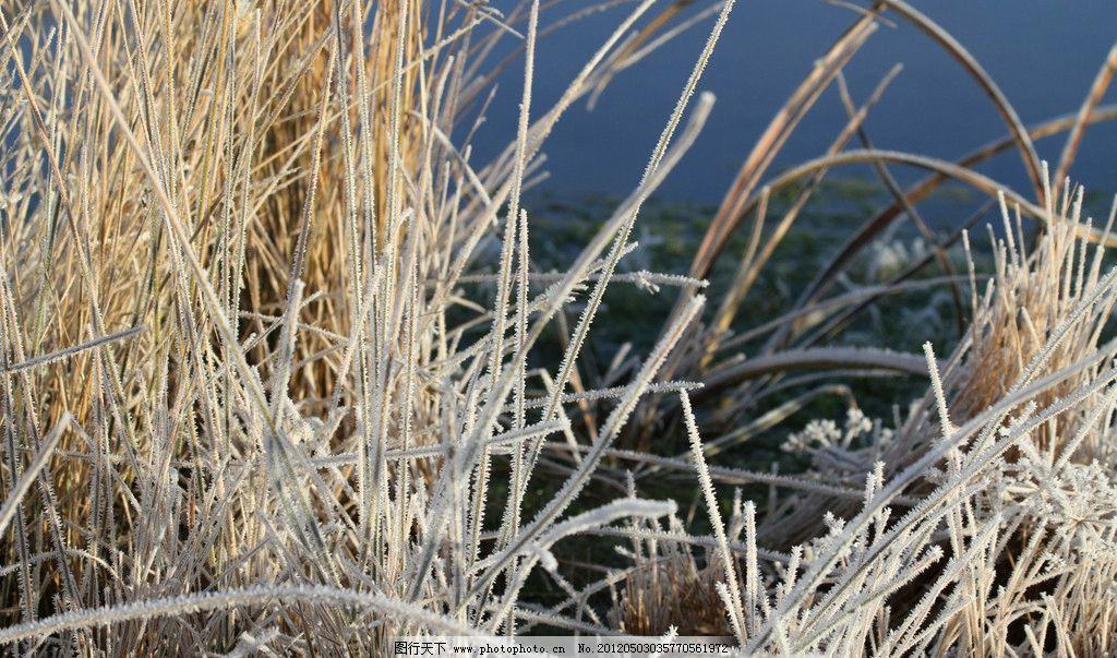 芦苇 冰柱 冰住 冰珠 绿色 环保 水珠 植物 特写 叶子 冬天