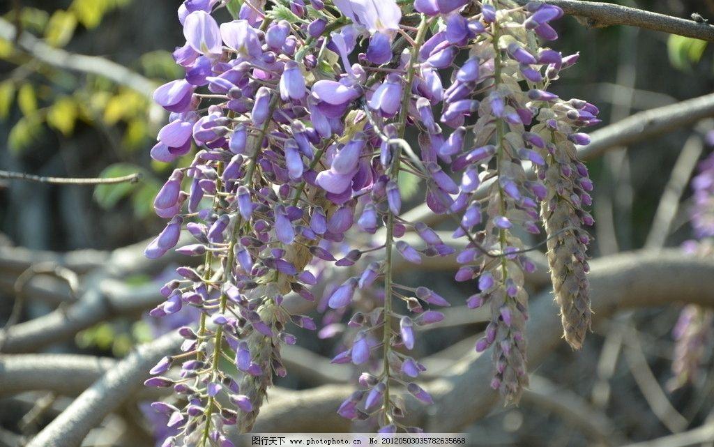 紫藤 花卉 朱藤 藤花 豆科 花蓝紫色 总状花序 下垂 数枝 花卉系列 花