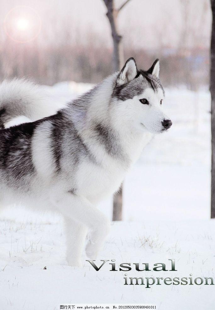 哈士奇雪橇犬图片