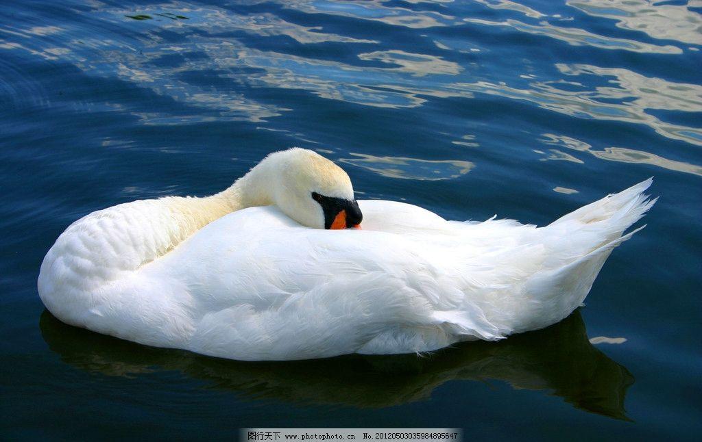 白鹅 天鹅 湖水 湖泊 河流 家禽 畜牧业 养殖业 家禽家畜宠物 家禽