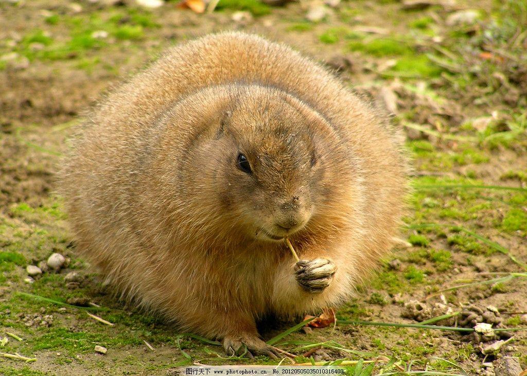 水獭 水貂 野生 貂皮 自然 保护 动物 吃东西 觅食 草地 可爱