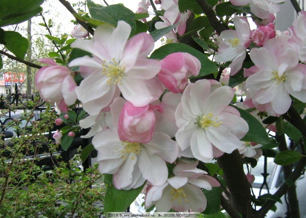 沙果树开花 沙果