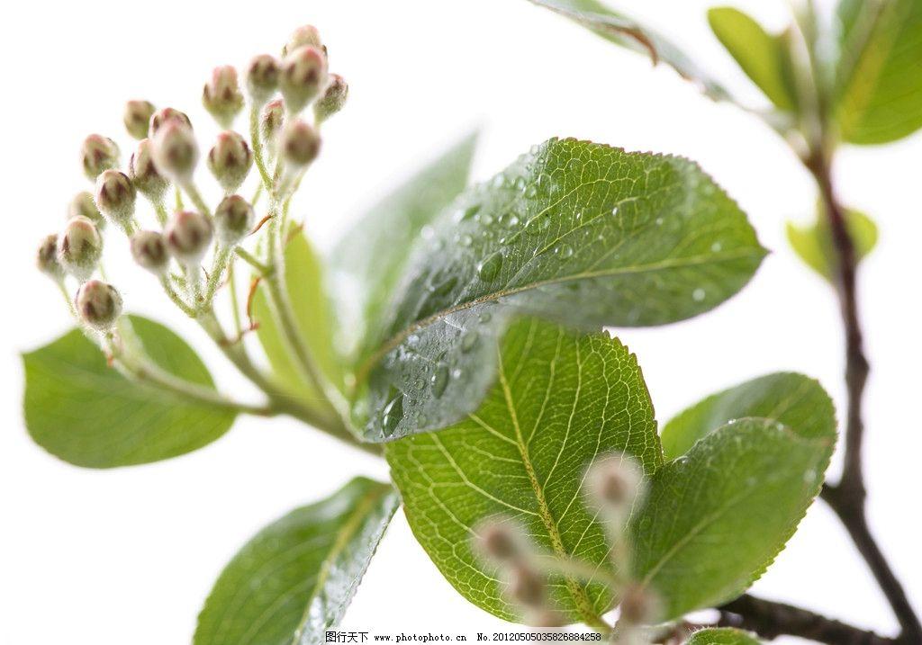 绿叶 树枝 枝条 树木树叶 生物世界 摄影 300dpi jpg