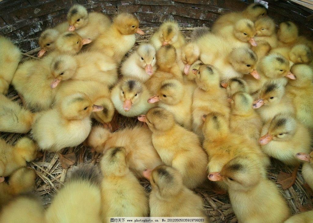 小鸭 小鸭子 可爱小鸭子 黄色小鸭子 鸭仔 家禽家畜 生物世界 摄影