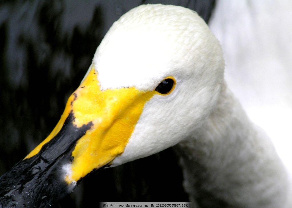 鸭子 家禽 鸭头 动物 可爱 养殖业 大鹅 白鹅 家禽家畜宠物 家禽家畜
