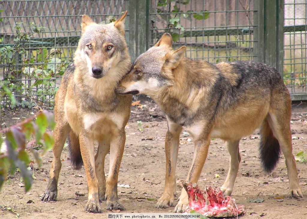 野狼 森林 自然 保护 动物 凶猛 猛兽 野生动物 生物世界 摄影